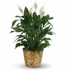 Simply Elegant Spathiphyllum Plant T105-3A