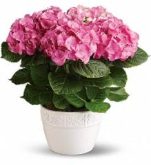 Happy Hydrangea Plant T89-1A