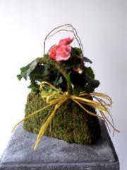 Moss Purse Begonia