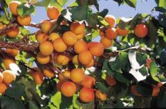 Apricot Tree, Early Golden