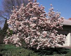 Magnolia Tree, Soulangiana