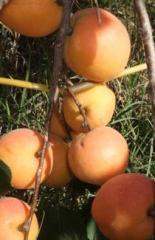 Apricot Tree, Goldrich