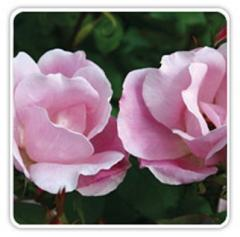 Rose Plant, Blushing Knock Out