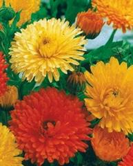 Flower Mix Seeds, Pacific Beauty