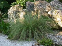 Fakahatchee Grass  Tripsacum dactyloides