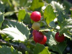 Quailberry  Crossopetalum illicifolium