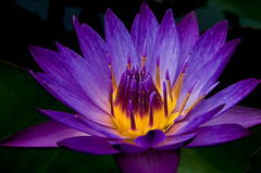 Tropical Waterlilies