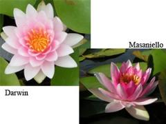 Hardy Water Lilies - Aquatic Plants