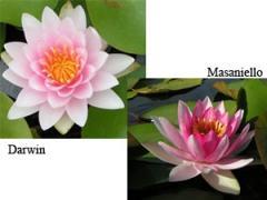 Hardy Water Lilies - Aquatic Plants