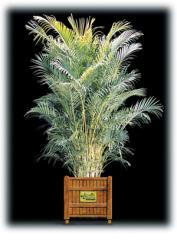 Areca Palm/Dypsis lutescens