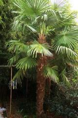 Windmill Palm/Trachycarpus fortunei
