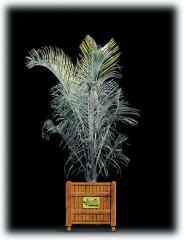 Triangle Palm/Neodypsis decaryl