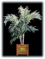 Adonidia Palm/Veitchia merrillii