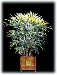 Lady Palm/Rhapsis excelsa