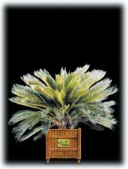 King Sago Palm/Cycads revoluta