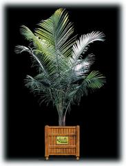 Majesty Palm/Ravenea rivularis