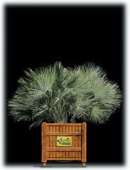 European Fan Palm/Chamaerops humilis