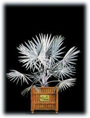 Bismarck Palm/Bismarckia nobilis