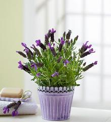 Fresh Scent Lavender