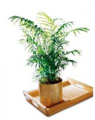 Palm C31-2962