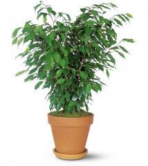 Ficus Bush