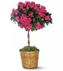 Azaela Topiary