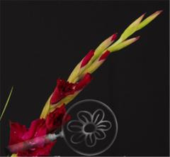 Burgundy Gladiolus