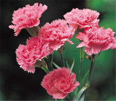 Flower Carnations