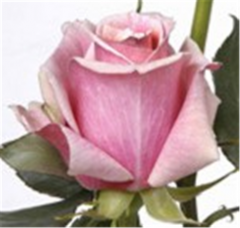 Panama Roses