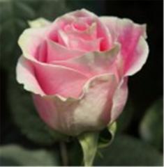 Rosita Vendela Rose