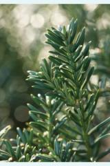 Yewtopia® Plum Yew