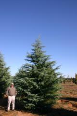 Gemstone Deodar Cedar