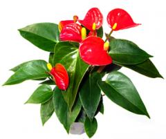 Anthurium (Lady Jane)