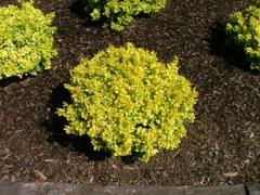 Barberry, Berberis Bonanza Gold