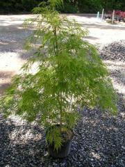 Japanese Maple, Acer p. d. Viridis