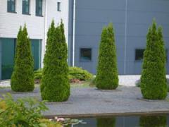 Arborvitae, Thuja Smaragd