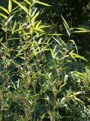 Arundinarea Gigantea/Native North American Bamboo