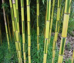 Phyllostachys Aureosulcata Bamboo
