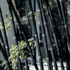 Phyllostachys Nigra Bamboo