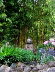 Phyllostachys Vivax Bamboo