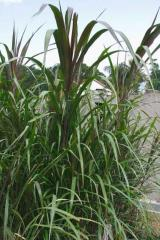 Semiarundinarea Fortis Bamboo