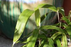 Phyllostachys Nuda Bamboo