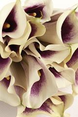 Picasso Miniature Calla Lilies