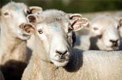 Veterinary Drugs For Sheep