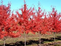 Autumn Radiance Maple