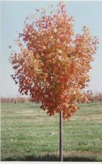 Wright Brothers Sugar Maple