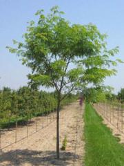 Imperial Honeylocust Tree