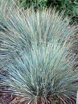 Blue Oat Grass Plant