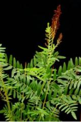 Royal Fern-Osmunda regalis
