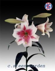 Lilium Longiflorum Trimphator